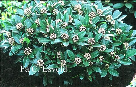 hardy flowering shrubs hardy evergreen flowering shrubs image search results