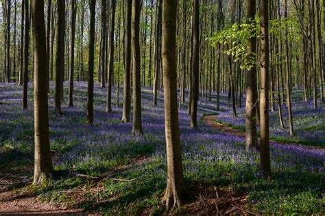 Make Plan hallerbos info flowering bluebells walks hiking map