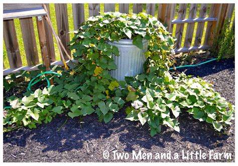container gardening sweet potatoes two and a farm container grown sweet potato