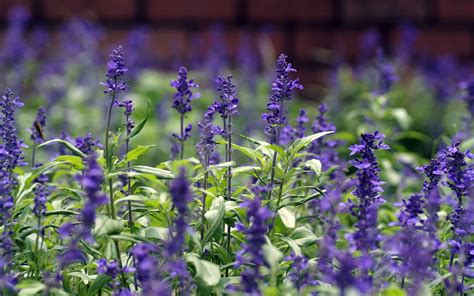 lavender take care the loyalty meaning flower typesofflower com