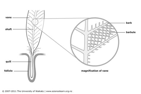 feather diagram parts of a feather science learning hub