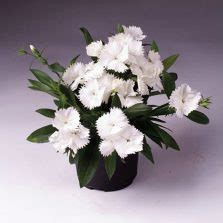8 Biji Bibit Benih Bunga Carnation White Pink bibit dahlia bishops children