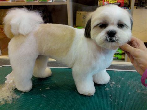 shih poo puppies haircuts 16 best shih tzu hair cuts images on pinterest shih tzus
