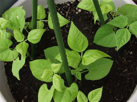 Growing Beans In Containers: How To Care For Potted Bean