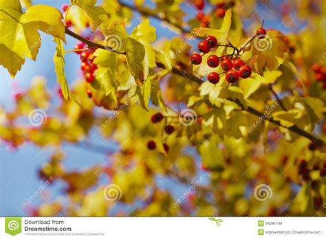 fall background with yellow leaves red berries stock