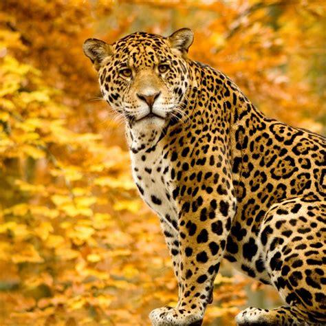 imagenes de jaguares kawaii jaguares todo interesante conociendo mas taringa