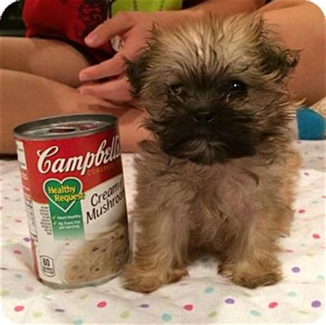 shih tzu puppies vermont lolli adopted puppy brattleboro vt shih tzu poodle or tea cup mix
