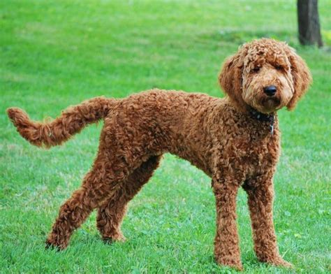 doodle hair types labradoodle cuts search grooming ideas