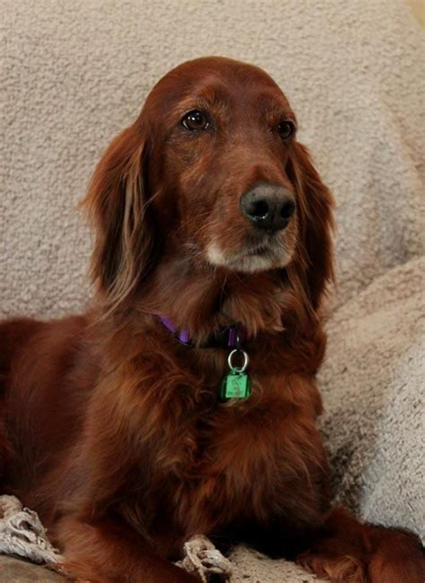 Irish Setter Dog Adoption | 17 best images about second chance please adopt on