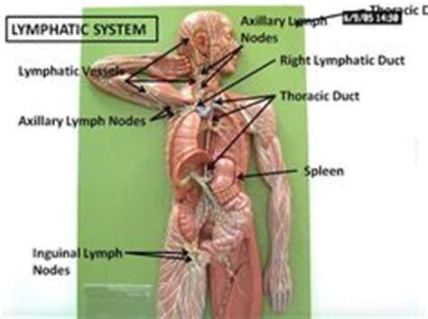 Lymph Detox Pelvis by Location Of Lymph Nodes In Females Pelvic Lymph Nodes