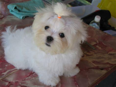 miniature maltese puppies miniature maltese puppies