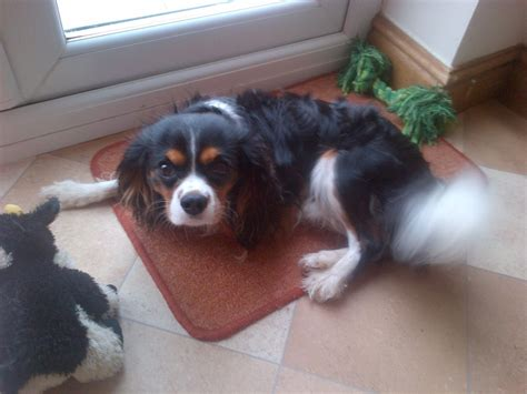 king charles spaniel puppies for sale cavalier king charles spaniel for sale skegness lincolnshire pets4homes