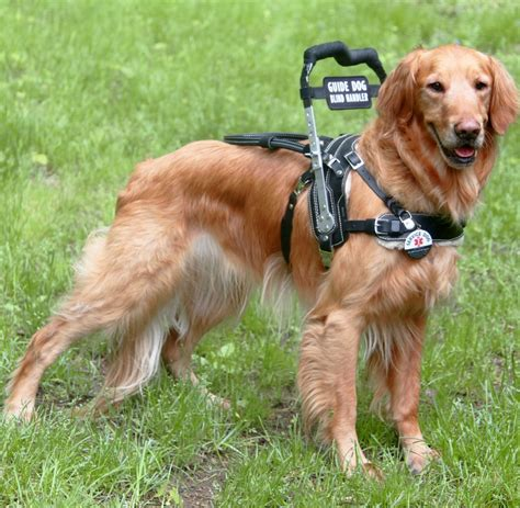 golden retriever service dogs mobility support harness