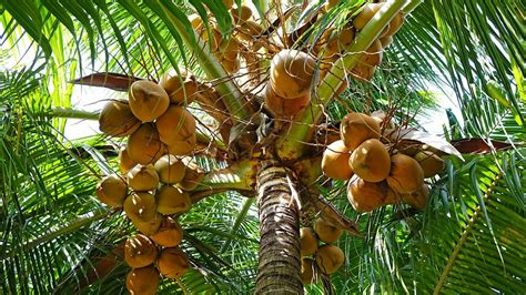 Coconut Tree coconut depletion of trees raises fear of extinction