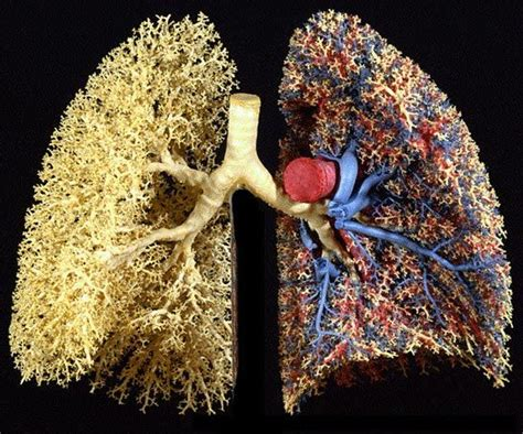 nature patterns human cast of human lungs showing blood vessels on one side