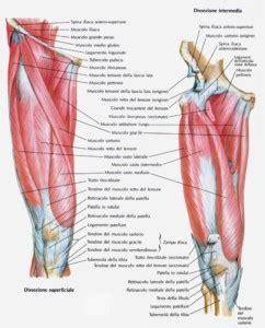 muscoli coscia interna i muscoli della coscia per eseguire gli esercizi