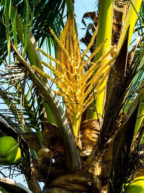 cual es la planta de washington foto gratis palma 193 rbol de coco de coco imagen gratis