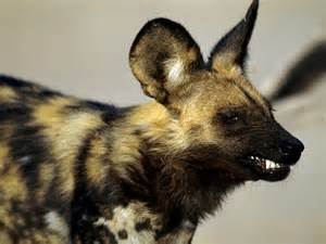 The african wild dog few facts amp photos the wildlife
