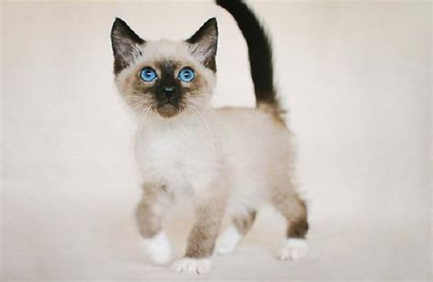 cat price siamese snowshoe cat price cats