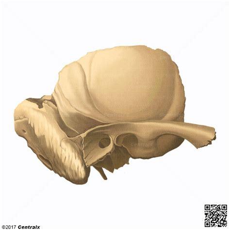 imagenes de huesos temporales hueso temporal atlas de anatom 237 a del cuerpo humano