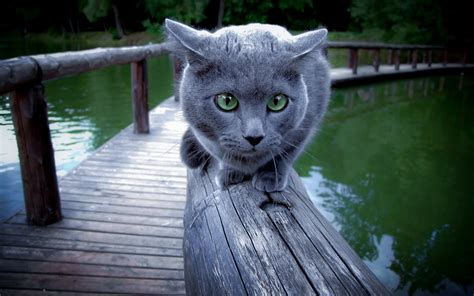 Blee Cat 2 8 reasons to get a russian blue cat mashoid