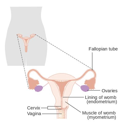 file diagram showing the parts of the body the lymphatic file diagram showing the parts of the female reproductive