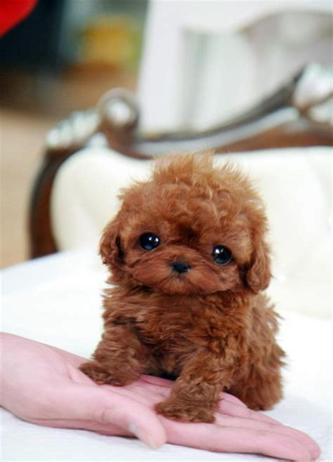 teacup poodle mixed with yorkie teacup poodle mix