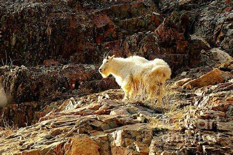 Pallet Kayu B 733 1111 70 best images about mountain goats on rocky