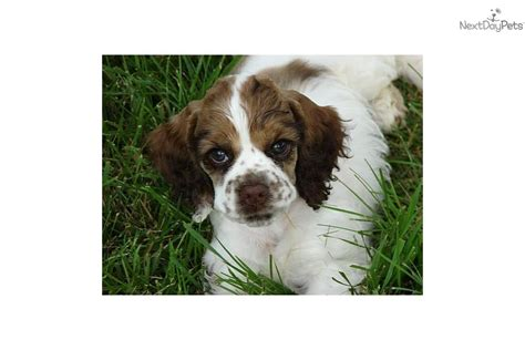 cocker spaniel puppies for sale mn cocker spaniel puppies for sale in mn