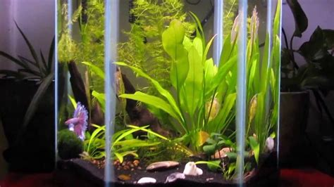 Lu Aquarium Cosmo ten gallon hexagon planted tank with gorgeous betta