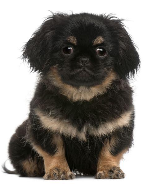perros pug en venta informaci 243 n de perros de la raza pug perros en venta