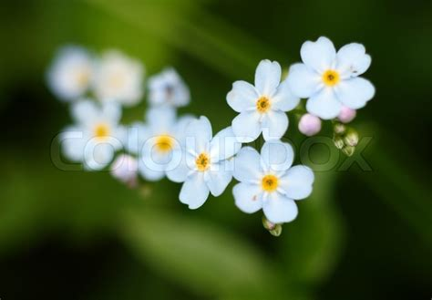 Camisole Forget Me Not Vivi White forget me nots flowers macro stock photo colourbox