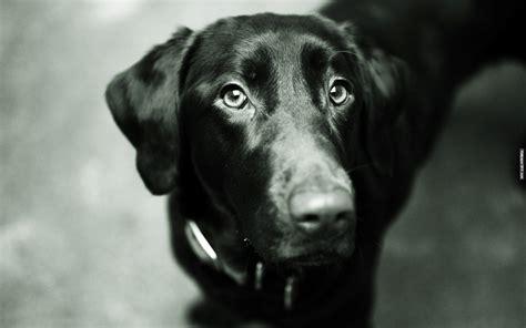 monochrome animals animals dogs monochrome high definition wallpaper