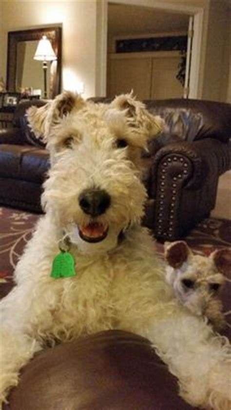 photos of lakeland terriors hair styles potential puppy wire hair fox terrier my style
