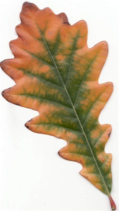 Sw White Oak Leaves Identification Sw White Oak White Oak Leaf