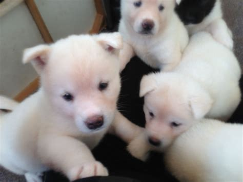 japanese akita puppies japanese akita puppies for sale only 1 left wakefield west pets4homes