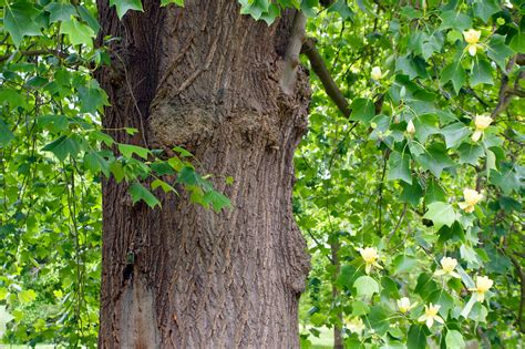 description of a tree file tulip tree 5762193541 jpg