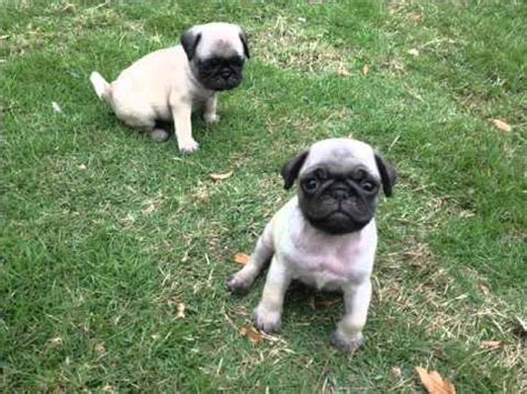 perro pug mini cachorros pug inscritos 00 doovi