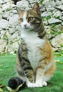 Orange Tabby Calico Cat