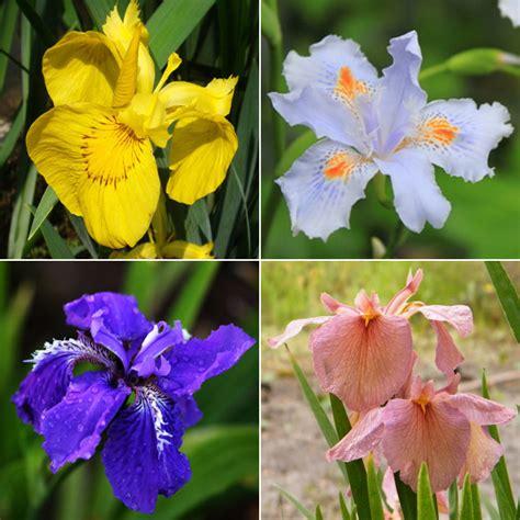 iris flower colors 100pcs mixture colors iris flower seeds garden balcony