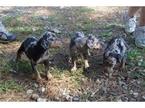 blue leopard catahoula puppies for sale catahoula leopard puppies for sale