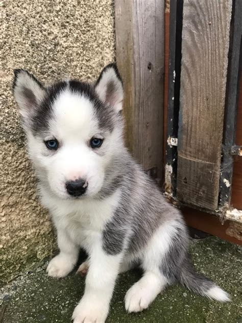huskey puppies for sale siberian husky puppies for sale in chudleigh gumtree