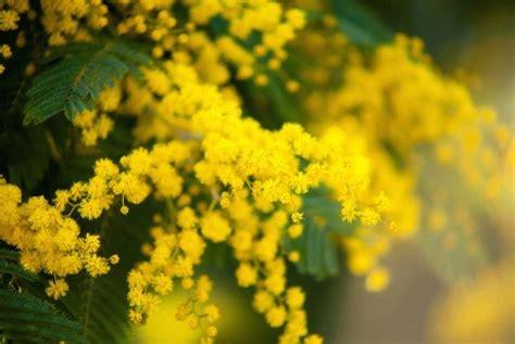 mimosa coltivazione in vaso come coltivare un albero di mimosa in giardino o in vaso