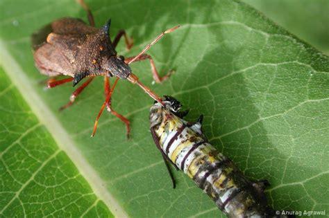 bed bug natural predators natural enemies threats the monarch joint venture