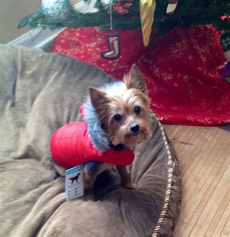 yorkies in the winter 1000 images about for my favorite on