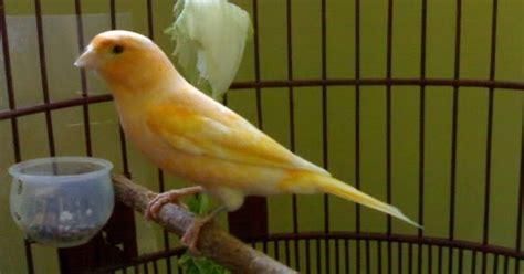 Pakan Walet Yg Paling Bagus memilih pakan sehat untuk burung kenari kontes