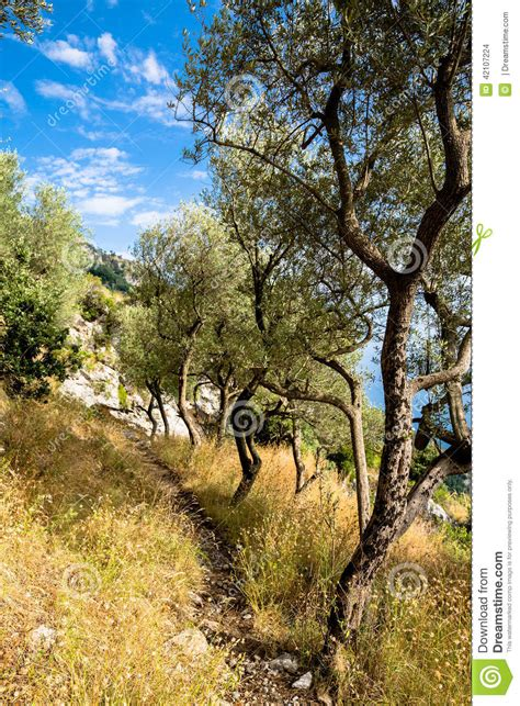 along with the gods near me olive trees on path in amalfi coast italy near positano