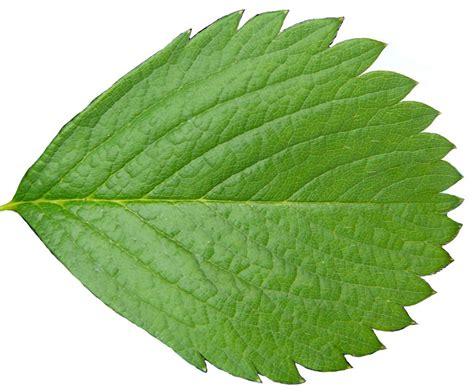 cut foliage plants image gallery tree leaf