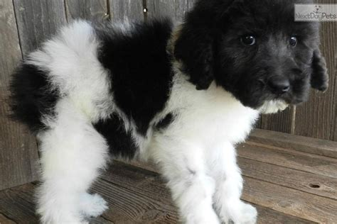 available sheepadoodle puppies sheepadoodle sheepadoodle puppies available breed info center breeds picture