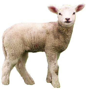baby lamb png transparent baby lamb.png images. | pluspng
